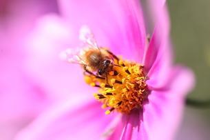 【ミツバチとコスモス】の写真素材 [FYI00173812]