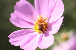 【ミツバチとコスモス】の写真素材 [FYI00173814]