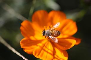 【ミツバチとキバナコスモス】の写真素材 [FYI00173815]