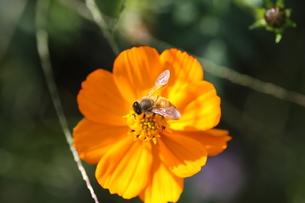 【ミツバチとキバナコスモス】の写真素材 [FYI00173816]
