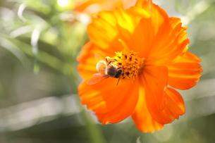【ミツバチとキバナコスモス】の写真素材 [FYI00173817]