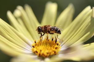 【ミツバチとイエローガーデン】の写真素材 [FYI00173818]