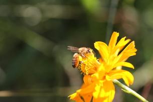 【ミツバチとキバナコスモス】の写真素材 [FYI00173819]