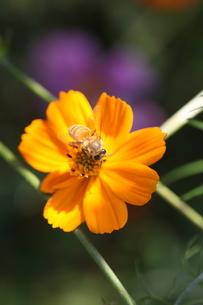 【ミツバチとキバナコスモス】の写真素材 [FYI00173820]