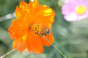 【ミツバチとキバナコスモス】の写真素材 [FYI00173823]