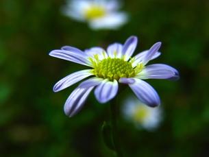 野紺菊の写真素材 [FYI00173847]