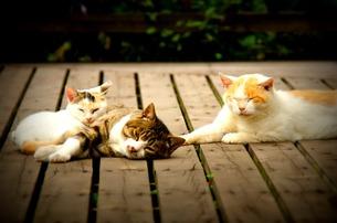 親子猫の写真素材 [FYI00173909]
