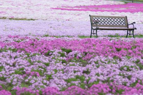 芝桜とベンチの写真素材 [FYI00173946]