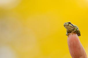 指先にのる蛙の写真素材 [FYI00173952]