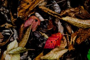 落ち葉の写真素材 [FYI00173958]