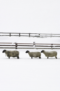 雪の中の羊3匹が柵の前にの素材 [FYI00173974]