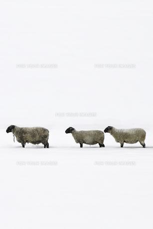 雪の中に羊が3匹並んでる。の素材 [FYI00173980]
