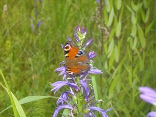 蝶とサワギキョウの写真素材 [FYI00173983]