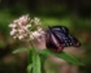 アサギマダラ蝶の写真素材 [FYI00173990]