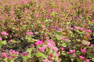 赤そばの花の写真素材 [FYI00173992]