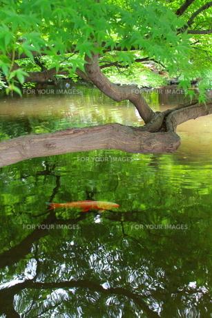 隠れる鯉と水面の素材 [FYI00174048]