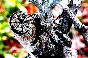 かすれた木の写真素材 [FYI00174073]