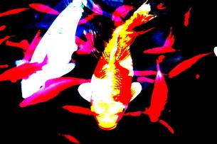 鯉の写真素材 [FYI00174082]