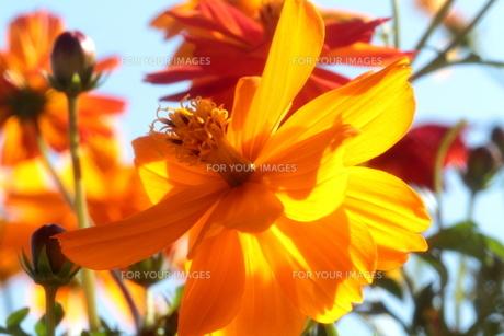 透過光のCarrot Orange-cosmos-の素材 [FYI00174584]
