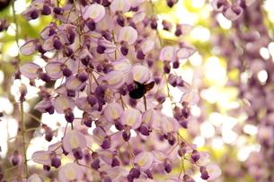 Japanese wisteria3の写真素材 [FYI00174709]