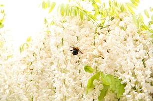 Japanese white-wisteria1の写真素材 [FYI00174713]