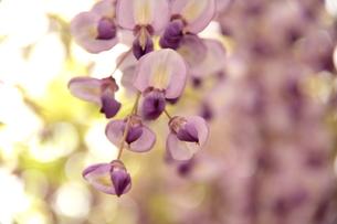 Japanese wisteria2の写真素材 [FYI00174719]