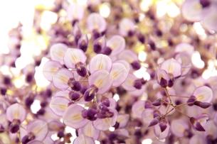 Japanese wisteria4の写真素材 [FYI00174722]
