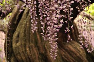 Japanese wisteria5の写真素材 [FYI00174726]