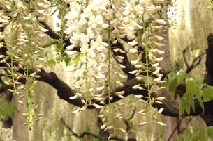 Japanese white-wisteria2の写真素材 [FYI00174733]
