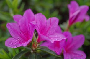 雨上がりのツツジの写真素材 [FYI00174818]