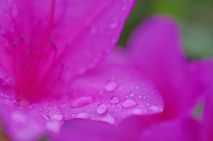 雨上がりのツツジの写真素材 [FYI00174821]