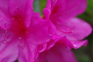 雨上がりのツツジの写真素材 [FYI00174830]