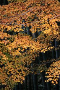 竹林と黄葉のもみじの写真素材 [FYI00174853]