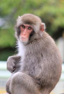 日本猿の写真素材 [FYI00174854]