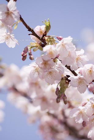 満開の桜の写真素材 [FYI00174857]