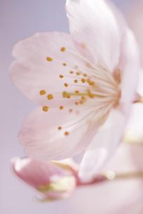 やさしい桜の写真素材 [FYI00174864]