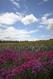 ラベンダー畑の写真素材 [FYI00174865]