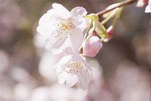 満開の桜の写真素材 [FYI00174887]