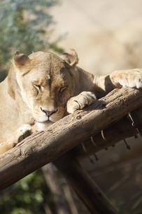 雌ライオンの昼寝の写真素材 [FYI00174897]