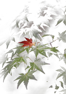 雪の中の紅葉の写真素材 [FYI00174899]
