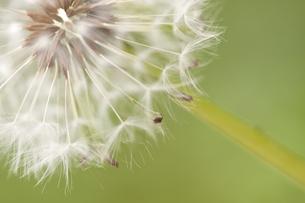 たんぽぽの綿毛の写真素材 [FYI00174901]