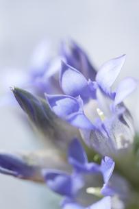 リンドウの花の写真素材 [FYI00174905]