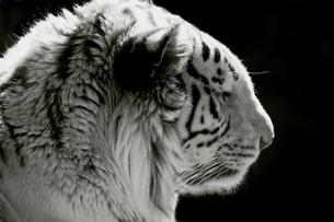 ホワイトタイガーの写真素材 [FYI00174907]