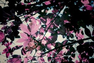 透き通った赤の写真素材 [FYI00174920]