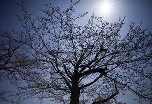 桜の木と太陽の写真素材 [FYI00174923]