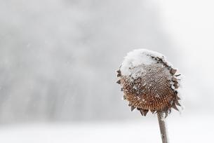 雪とヒマワリの写真素材 [FYI00174943]