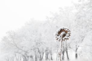 冬の枯れたヒマワリの写真素材 [FYI00174944]