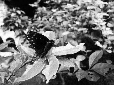 黒い蝶と草花の素材 [FYI00174961]