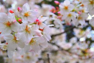卒業の春の写真素材 [FYI00175191]