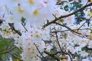 冷たい桜の写真素材 [FYI00175193]